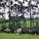 Cavalo Crioulo - Cabanha OCA - Santa Catarina
