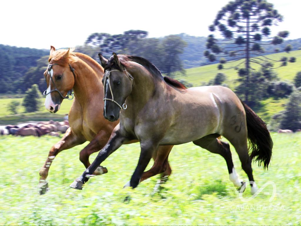 Cavalo Crioulo - Reprodutores - Cabanha OCA